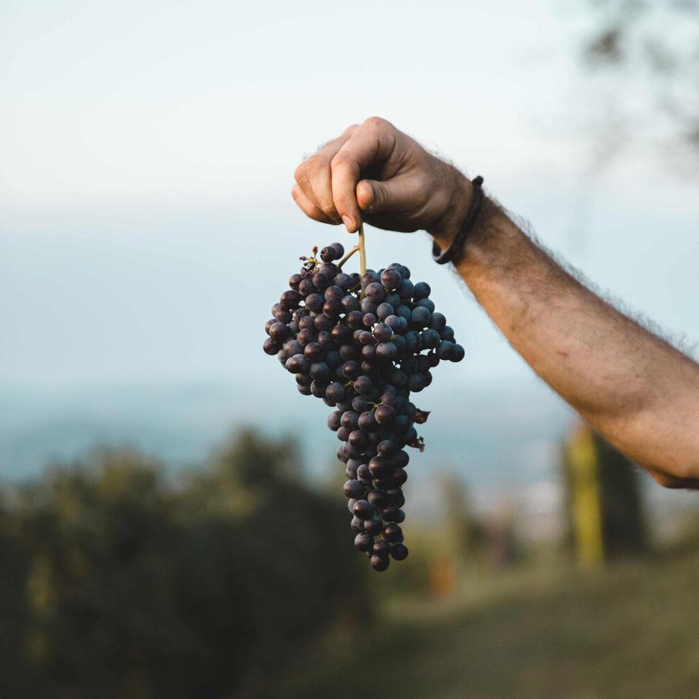 isnardi-ernesto-grappolo-uva